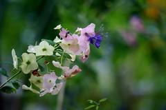 カロミア・テッテンシス/ Karomia tettensis (NobuShashin) Tags: 20180826dsc03633 カロミア・テッテンシス ホルムショルディア・テッテンシス karomiatettensis シソ科カロミア属 旧クマツヅラ科 holmskioldiaは旧属名 nobuflickr nobuhirosuhara nobushashin flower awesomeblossoms