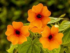 Black-eyed Susan (niloc's pic's) Tags: blackeyedsusan thunbergiaalata vine orange flower bexhillonsea eastsussex panasonic lumix dmcgh4r