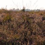 Heide thumbnail