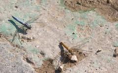Orthétrum brun ♀♂ (Orthetrum brunneum) -  IMG_6232 (6franc6) Tags: occitanie languedoc gard 30 petitecamargue août 2018 6franc6 vélo kalkoff vae