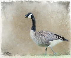 Canada Goose.... (Patlees) Tags: nc tt group texturaltuesday canadagoose