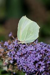 Le citron (◄Laurent Moulin photographie►) Tags: gonepteryx rhamni le citron papillon butterfly