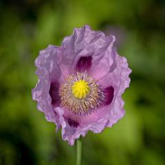 Poppy Wonder (MrBlueSky*) Tags: poppy flower petal garden nature outdoor colour horticulture london kewgardens royalbotanicgardens pentax pentaxart pentaxlife pentaxawards pentaxflickraward pentaxk1mkii aficionados