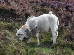Ram, Abergavenny Road, Blaenavon, Pontypool 29 August 2018 (Cold War Warrior) Tags: sheep ram blaenavon pontypool