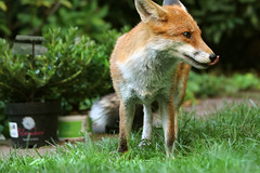 little gardening helper (Sue Elderberry) Tags: fox redfox vixen vulpusvulpes stadtfuchs urbanfox urbanwildlife urbannature animal canine garden daylight sunshine