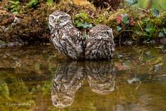 Had a tiff 750_0260.jpg (Mobile Lynn) Tags: nature owls birds littleowl bird fauna strigiformes wildlife nocturnal otterbourne england unitedkingdom gb coth specanimal ngc coth5 npc