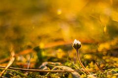 Back to the roots (Meastrology) Tags: sun sunlight sunshine sunset sunrise sundown gold golden glow glowing yellow canon color colour light licht nature natur macro makro magic magical enchanting daylight 50mm flower flowers daisy 7d sonne sonnenlicht sonnenuntergang