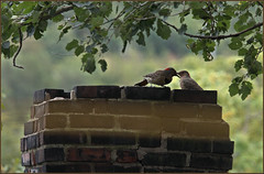 Two flickers on a neighbour's chimney (Felip1) Tags: 189124071a northernflicker woodpecker