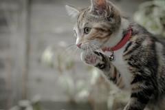 looking interested (chryssiesgreece) Tags: ellie macro cat pet prtrait