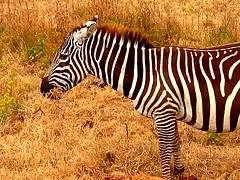 Kenya, Lake Nakuru National Park. Zebra (dimaruss34) Tags: newyork brooklyn dmitriyfomenko image kenya svetlanafomenko lakenakurunationalpark grass animal