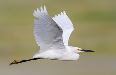 Snowy Egret Fly By (tresed47) Tags: 2018 201807jul 20180718newjerseybirds birds canon7dmkii content ebforsythenwr egret folder july newjersey peterscamera petersphotos places season snowyegret summer takenby us
