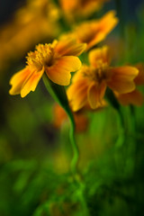 into the sun (iwona.kilichowska) Tags: flowers plants flora closeup macro nature dof blur colours orange yellow green bright garden