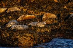 Sunset Chillax (Bernie Duhamel) Tags: seal water shore coastline atlanticocean sea waves bernie duhamel sonyfe100400mm sonya9 greatphotographers teamsony acadianationalpark desertisland barharbor maine