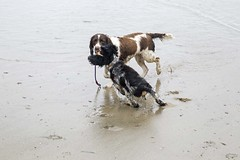 More Bertie & Lily (jimj0will) Tags: bertie lily cornwall dogs puppy springer spaniel cocker