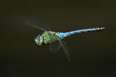 Große Königslibelle (Anax imperator) 5991 (fotoflick65) Tags: libelle edellibelle anax imperator emperor dragonfly d7100 fotoflick65 leopold kepplinger odonata godoxtt685n flash tamronsp150600mmf563divcusdg2 tamronspaf150600mmf563divcusd ta150600 y2018 ym07 fd5b10 fd5m9 f8 st640 st400800 iso280 iso200400 fl500 fl450600 inflight fliegende fliegend imflug blau blue groslibelle bof bug insect insekt closeup nahaufnahme ds nikonnaturephotography specinsect