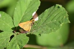 Hesperiidae (esta_ahi) Tags: fontdellinàs mariposa papallona butterfly lepidoptera insectos fauna hesperiidae fontrubí penedès barcelona spain españa испания