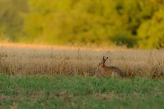 European Hare (derliebewolf) Tags: hasen säugetiere wildlife hare feldhase europeanhare nature goldenhour field bokeh sunset