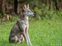 Smoky Mountian Coyote (dbking2162) Tags: smokys coyote beautiful nature nationalgeographic wildlife green nationalparks greatsmokymountainnationalpark animal explore outside