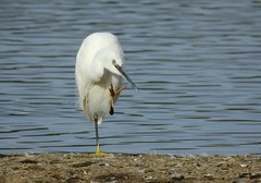 Little egret (PhotoLoonie) Tags: egret littleegret white feathers bird wildbird wildlife nature attenboroughnaturereserve