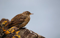 Rock Pipit. (Chris Kilpatrick) Tags: chris canon canon7dmk2 outdoor wildlife nature bird animal rockpipit springwatch september sigma150mm600mm peel isleofman rock