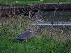 DSC04824 (Wildlife Terry) Tags: greyheron towpathwalk wheelock mostongreen middlewich sandbach cheshire wildlifeandnature amateurphotography september2018 autumn