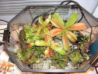 Heated Nepenthes terrarium setup, 2010