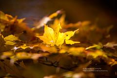 史巴賴 (湯小米) Tags: canon 1dx ef70200mmf28lis 東北 塔のへつり maple autumn 楓葉 楓紅 plant japan