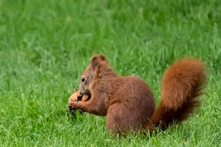 Eichhörnchen-1120077