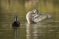 Tentative de séduction.. (chana4 ( Nancy Charlton)) Tags: branchu exterieur canard ailes couleur