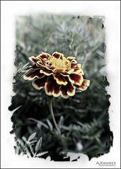 Flowers... (angelakanner) Tags: canon70d lensbaby sol45 closeup garden longisland processed marigold