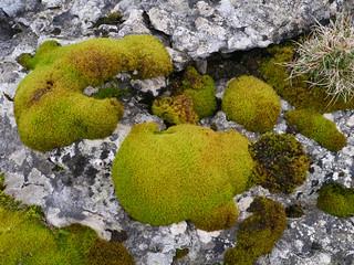 Moss on limestone, Scales Moor