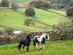 SJ1_1079 - Double Trouble (SWJuk) Tags: swjuk uk unitedkingdom gb britain england yorkshire northyorkshire yorkshiredales dales wensleydale gayle farm gaudyhousefarm fields farmland grass drystonewalls horses drafthorses paddock basil joey 2018 sep2018 autumn holidays nikon d7200 nikond7200 nikkor70200mm rawnef lightroomclassiccc