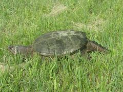 Common snapping turtle (Chelydra serpentina) (tigerbeatlefreak) Tags: common snapping turtle chelydra serpentina reptile nebraska