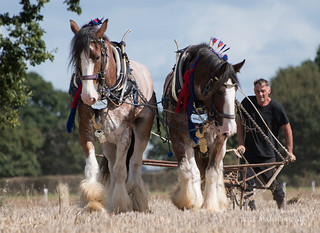 Heavy Horses - Ploughing Match (175)