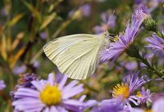 Butinage d' Automne... (passionpapillon) Tags: macro fleur flower aster papillon butterfly piéride insecte passionpapillon 2018
