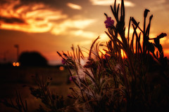 Flowers, Fluff And Sundown (Alfred Grupstra) Tags: sunset nature dusk sunlight sun sunrisedawn summer sky landscape outdoors beautyinnature yellow backlit silhouette night orangecolor plant scenics nopeople lightnaturalphenomenon flowers fluff