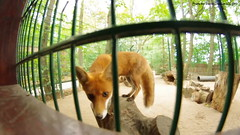 Wide-Angle Fox (bjacobdawson) Tags: animal cute enclosure feral fox germany park photo red tame vulpine zoo