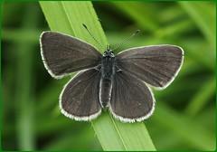 Small Blue basking - Masts Field (glostopcat) Tags: smallbluebutterfly butterfly insect invertebrate littleblue macro may spring glos butterflyconservation prestburyhillnaturereserve