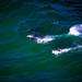 Dolphin pod riding the waves