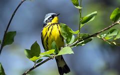 IMG_7181 Magnolia Warbler (suebmtl) Tags: bird birding canada ontario longpointprovincialpark springmigration springmigrant spring magnoliawarbler dendroicamagnolia