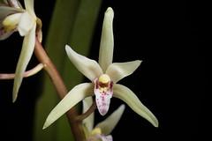 [Philippines] Cymbidium aliciae Quisumb., Philipp. J. Sci. 72: 486 (1940) (sunoochi) Tags: 植物 ラン 蘭 plantmorphology green botany plants species orchid orchids orquideas anggrek orchidspecies orchidlover nature flowers