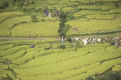 Rice paddies (Jamie @project-himalaya.com) Tags: 2017kanchenjunga canoneos5dmarkiv ef70200mmf4lisusm copyright2017jamiemcguinnness copyrightjamiemcguinness green httpprojecthimalayacom projecthimalayatrek safe taplejungdistrict terracedfields taplejung nepal