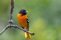 Oriole in the Rain_40906-.jpg (Mully410 * Images) Tags: birdwatching birding backyard bird birds oriole baltimoreoriole raining birder rain