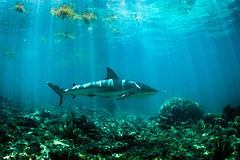 (Fifinator) Tags: carribean caribbean reef shark florida keys canon sl2 sun rays underwater free diving dive under water sea ocean key coral light ray white carcharhinus perezii freediving