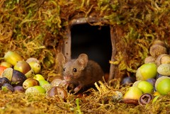 House mouse in a mossy hole with acorns and berry's (11) (Simon Dell Photography) Tags: wild garden house mouse nature animal cute funny fun moss covered log pile acorns nuts berries berrys fuit apple high detail rodent wildlife eye ears door home sheffield ul old english country s12 simon dell photography