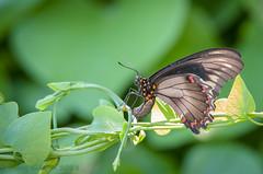 Backyard  Polydamas Swallowtail 08-26-2018 (Jerry's Wild Life) Tags: backyardpolydamasswallowtail backyardpolydamasswallowtailbutterfly battuspolydamas butterfly polydamas polydamasswallowtail polydamasswallowtailbutterfly swallowtail backyard backyardpolydamas