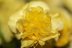 JAUNE (hoffler_pictorials) Tags: hofflerpictorials falloff bokeh emountlenses sonyfelenses beautiful bold striking gentle carnations petals softfocus macro closeup flowers yellow