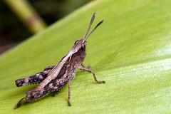 Antennae for Clubbing - _TNY_0834 (Calle Söderberg) Tags: macro canon canon5dmkii canoneos5dmarkii 5d2 canonef100mmf28usmmacro flash meike mk300 glassdiffusor raynox dcr250 insect grasshopper locust acrididae storklubbsprötgräshoppa gomphocerippus rufus gräshoppa gomphocerus rufousgrasshopper acridoidea caelifera markgräshoppor f22