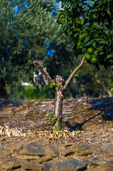 Mediterranean (Celtis Australis) Tags: lemontree olives soil earth summertime bokeh dof pruned fruit green pentaxk50 helios44258mmf2 field garden vintage vintageglass russianlens sovietlens depthoffield shiny colourful orchard