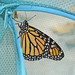 fresh Monarch - moments before he left for Mexico!